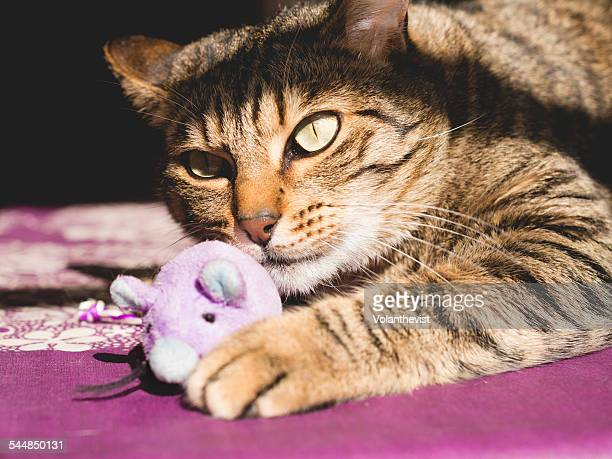 Cute tabby cat playing at home with mouse toy