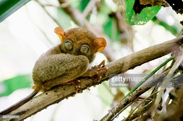 Cute Tarsier on a branch looking down, Philippines