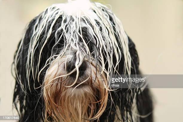 Cute Tibetan Terrier at the groomer