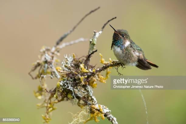 Cute tiny hummingbird peeing