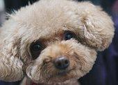 Poodle, Dog, Puppy, Pets, Animal