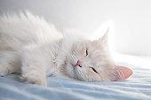Cute turkish angora cat, sleeping