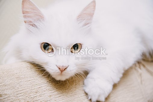 bc806b5075 Cute turkish van cat.   Stock Photo