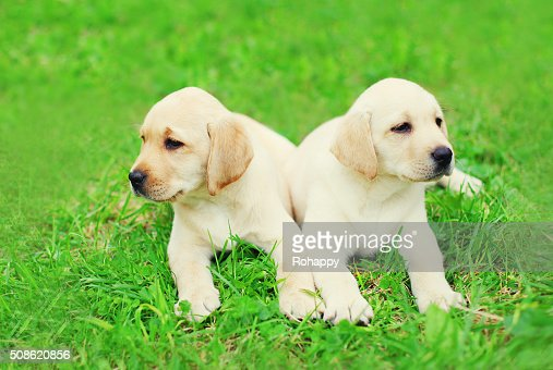 Cute two puppies dogs Labrador Retriever lying together on grass : Stock Photo