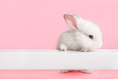 Cute white bunny rabbit climbing up and looking at you with pink background.