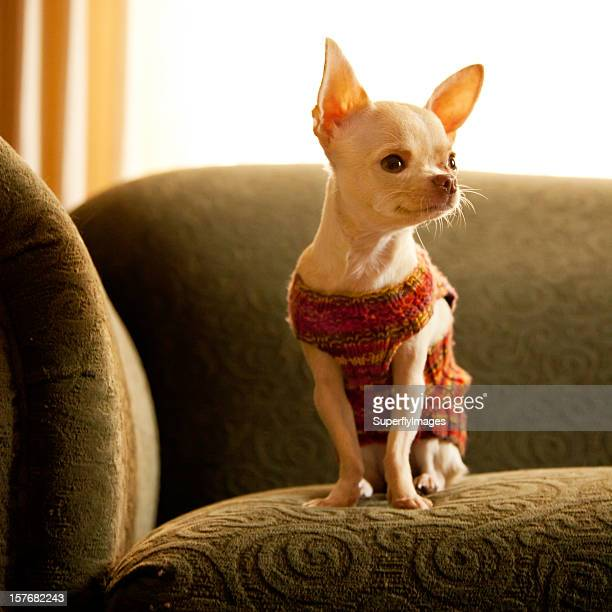 Cute White Chihuahua in Sweater Sits Patiently on the Couch.