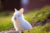 Cute white Little Rabbit peeking out of hole.