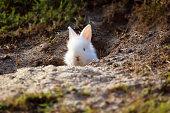 Cute white Little Rabbit peeking out of hole.