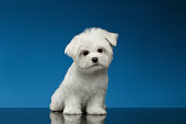 Cute White Maltese Puppy Sits and Curiously Looking in Camera isolated on blue background