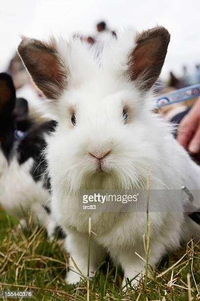 Cute white pet rabbit on a lead