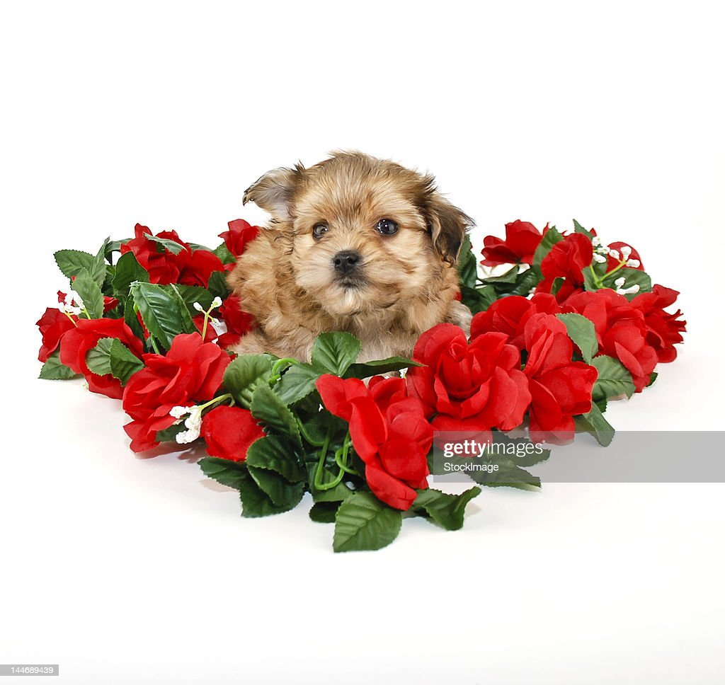 Cute yorkie poo puppy : Stock Photo