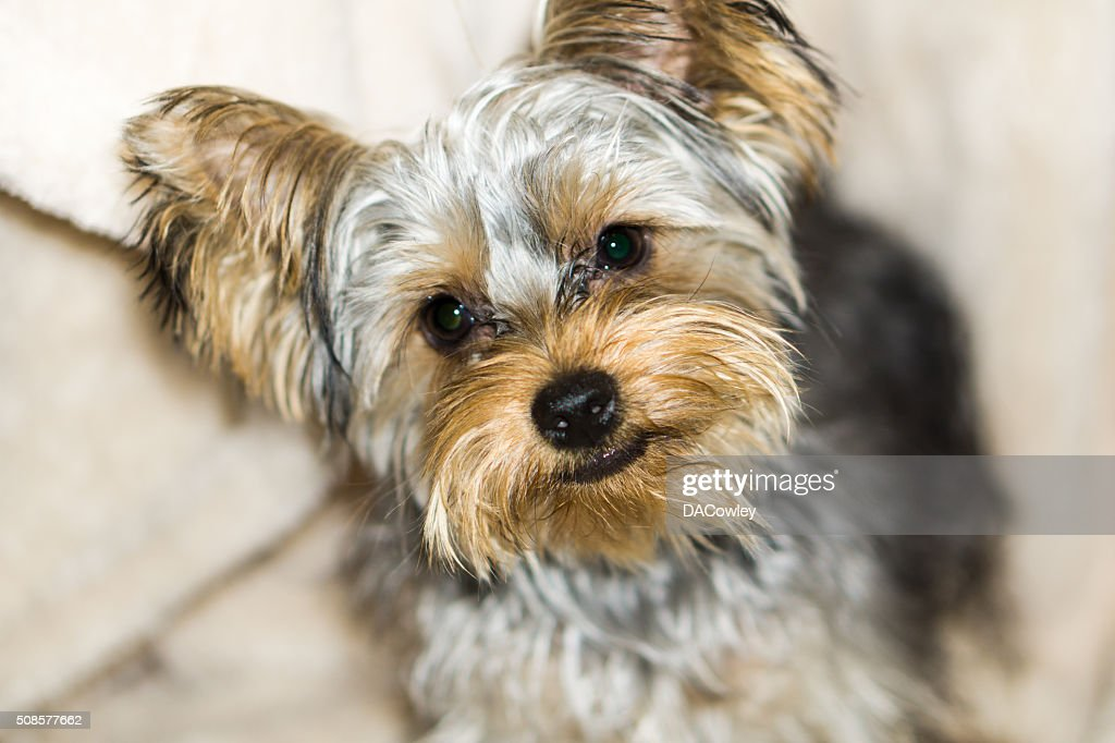 Cute Yorkshire Terrier Puppy : Stockfoto