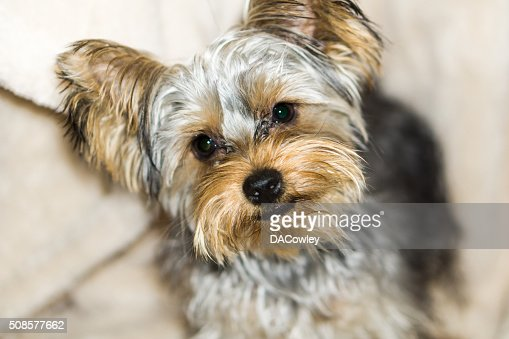 Cute Yorkshire Terrier Puppy : Stock Photo
