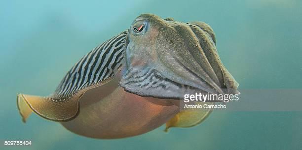 Cutthefish