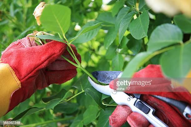 Couper la rose buissons