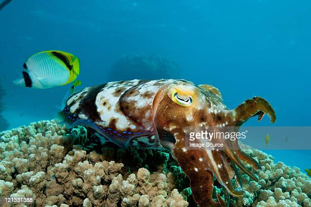Cuttlefish laying eggs in reef