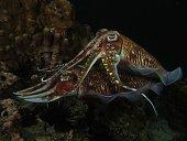 Cuttlefish mMating