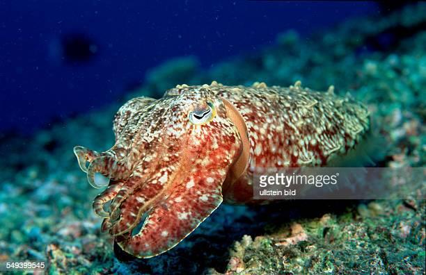 Cuttlefish Sepia kobiensis Micronesia Pacific ocean