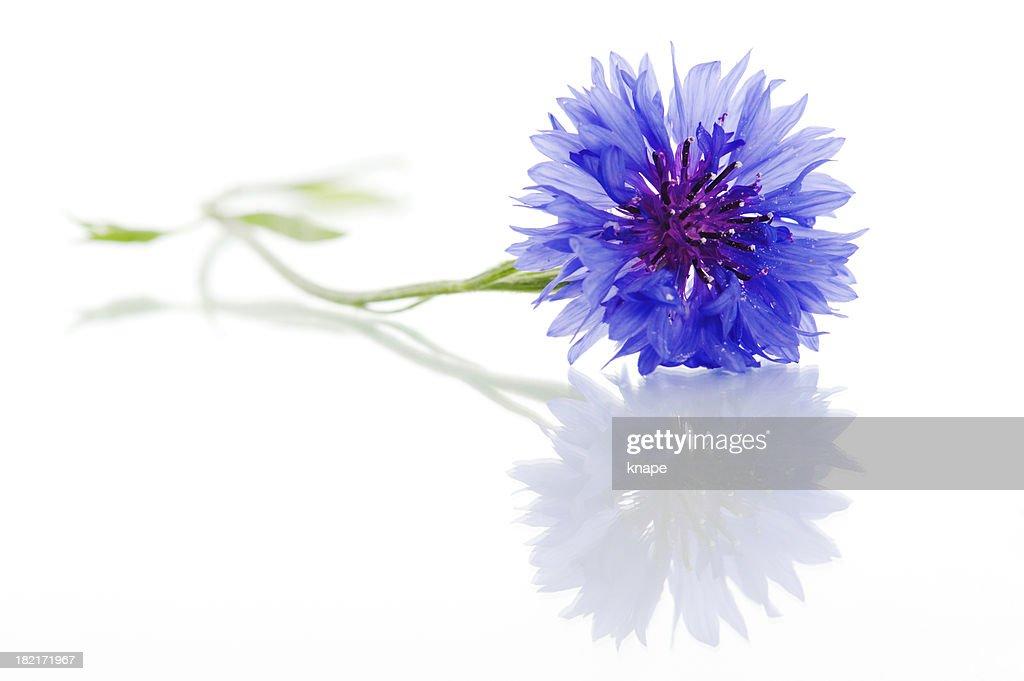 Cyanus segetum - Cornflower
