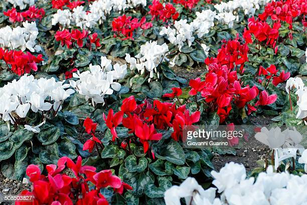 Cyclamen -Cyclamen cilicium- in white and red lines in a flower bed