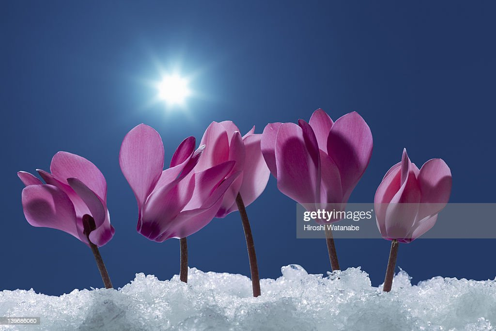 Cyclamen field on which snow lay : Stock Photo