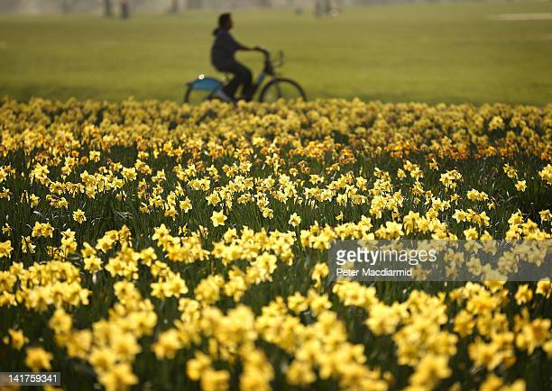 A cyclist passes a bank of daffodils in the spring sunshine in Hyde Park on March 23 2012 in London England Parts of the United Kingdom are enjoying...