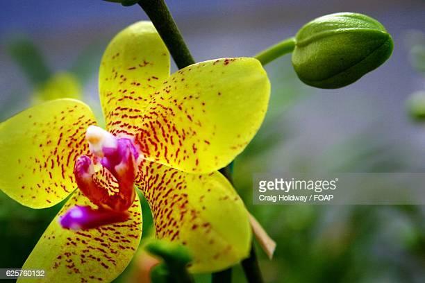 Cymbidium Orchid with bud