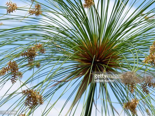Cyperus papyrus (Paper Reed)
