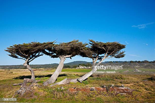 Cypress group at 17-Mile Drive, Monterey, California, USA