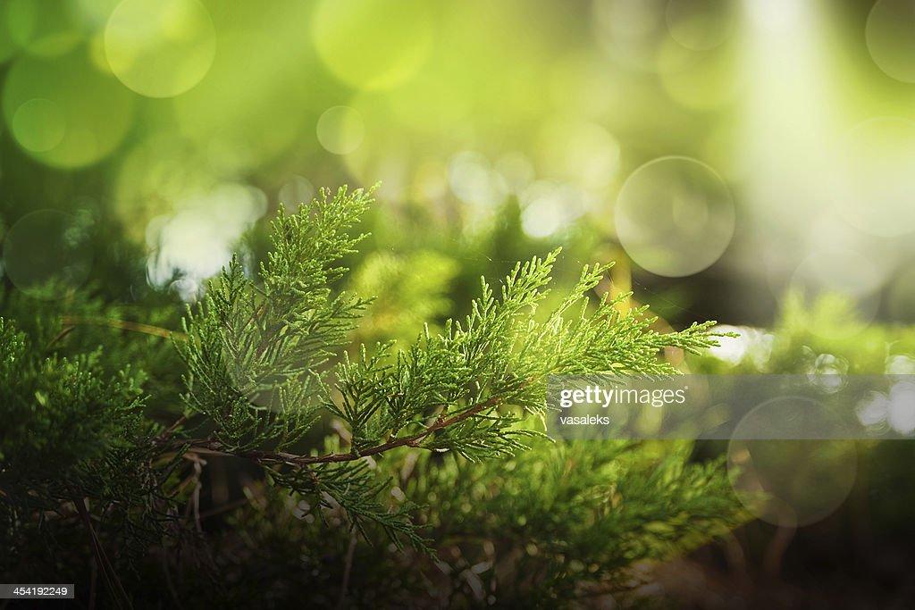 Cypress : Stock Photo