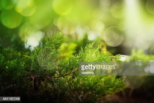 Cypress : Foto de stock
