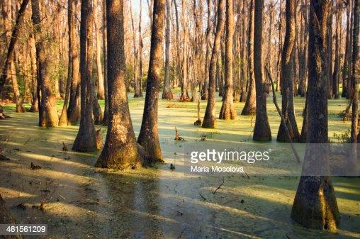 Cypress Swamp In Spring. South Carolina, USA