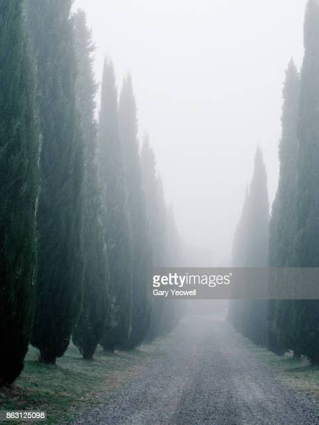 Cypress trees and fog