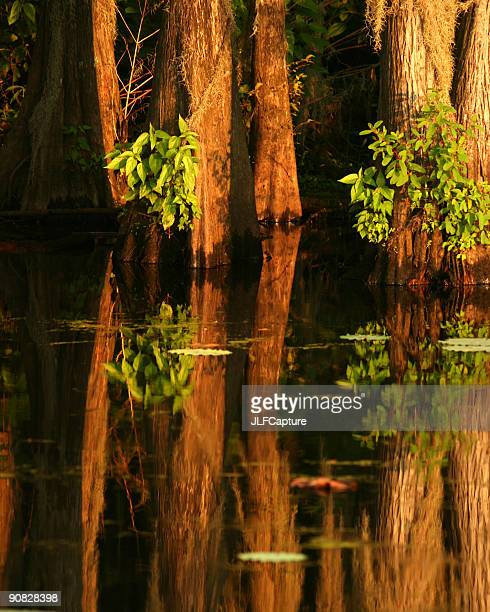 Cypress Trees and Reflections on Lake