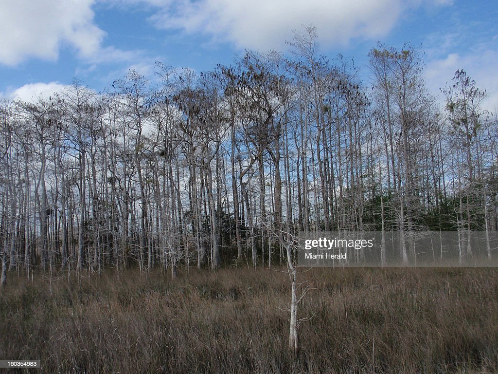 Cypress trees dot the landscape in the Big Cypress National Preserve, Florida.