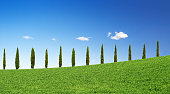 cypresses in a row on a green hill in Tuscany