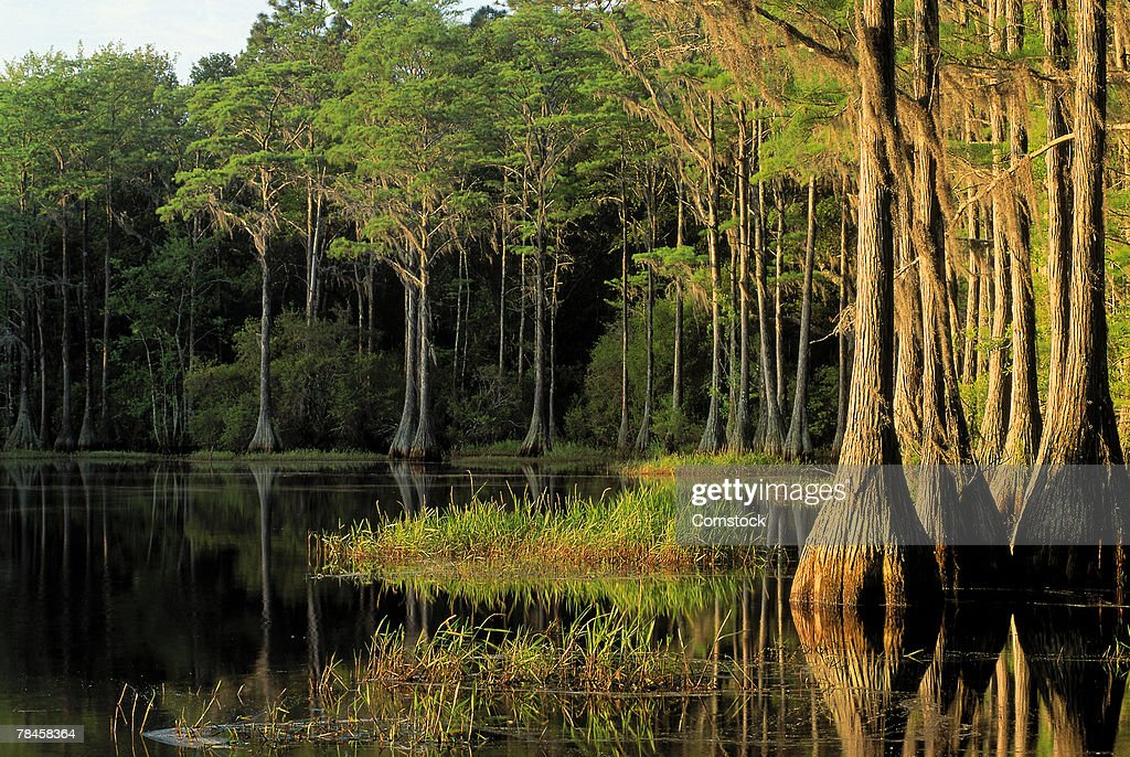 Cypress trees in Lake Bradford Region , Tallahassee , Florida