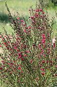 Red Cytisus scoparius in the spring garden