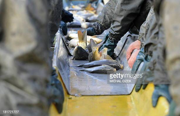 Czech fishermen sort through captured carps on November 7 during the annual carp fishing season at the Bosilecky pond beside the Bosilec village near...