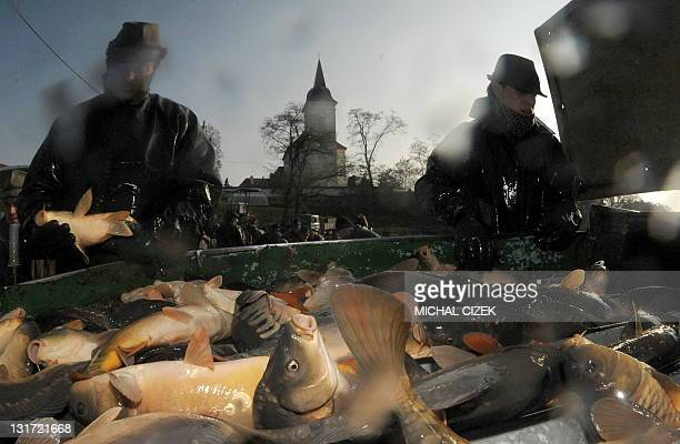 Czech fishermen sort through fish on November 7 during the annual carp fishing season at the Bosilecky pond beside the Bosilec village near Trebon...