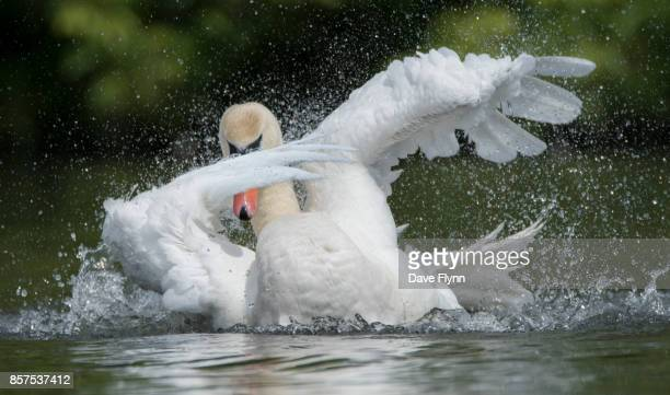 Dabbing Swan