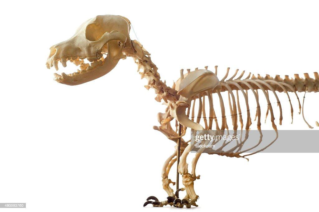 Dachshound dog skeleton on white : Stock Photo