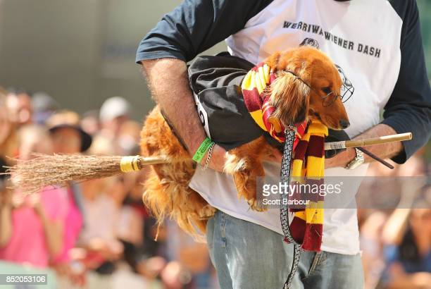 A dachshund dressed as Harry Potter on a broomstick competes in The Best Dressed Dachshund Costume Parade during the annual Teckelrennen Hophaus...