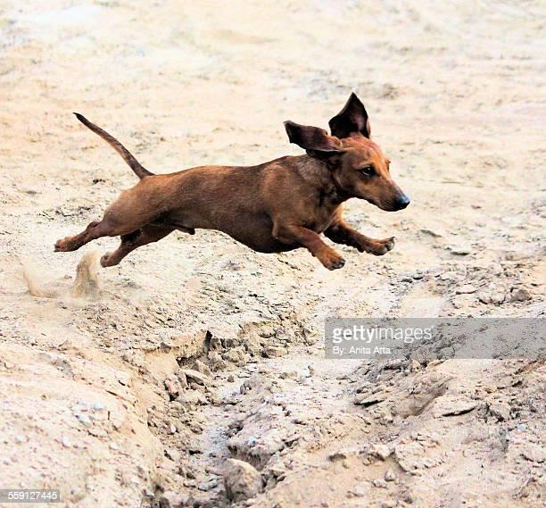 Dachshund Flying