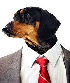 Dachshund head on businessman's body