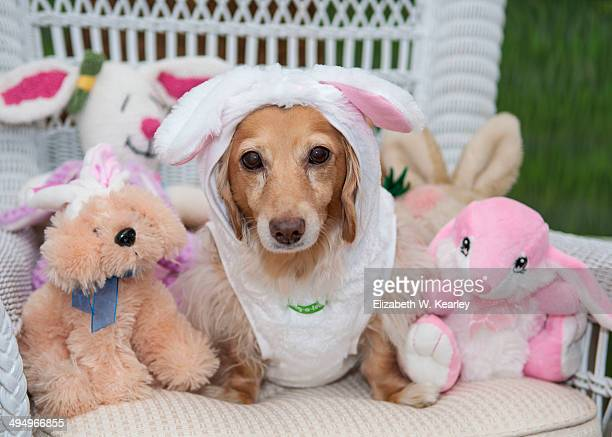 Dachshund in rabbit outfit.