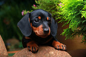Dachshund dog in the garden