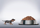 Dachshund looking up at large bowl of food