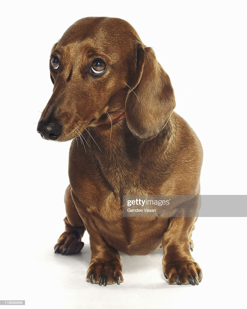 Dachshund looking up : Stock Photo