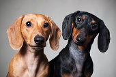 Two cute miniature dachshund purebred dogs